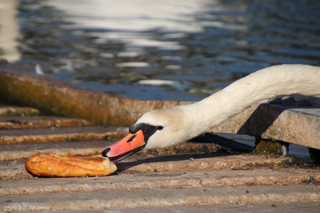 A swan leaning forward to grab a thick chunk of bread