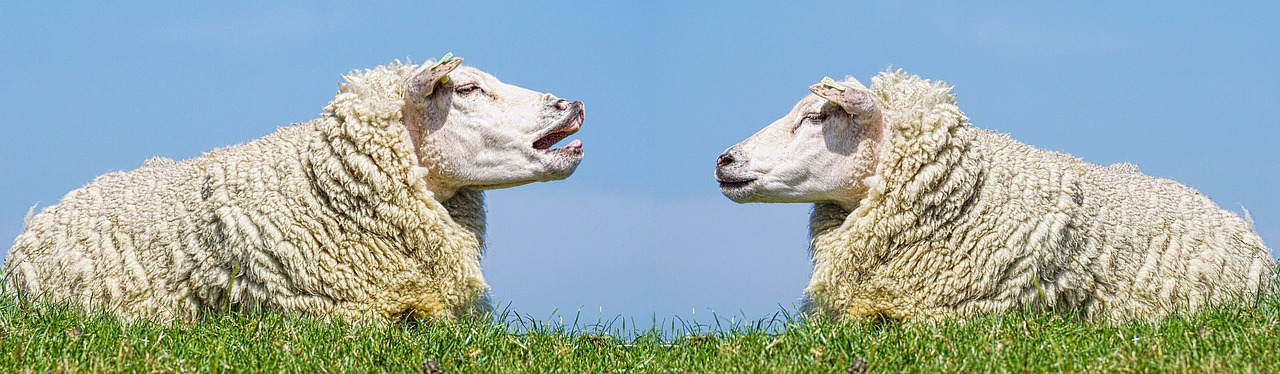 A talkative sheep bleating to another attentive sheep in a field